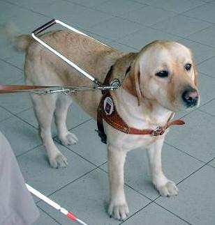 http://www.disabili.com/images/stories/cane-guida.jpg